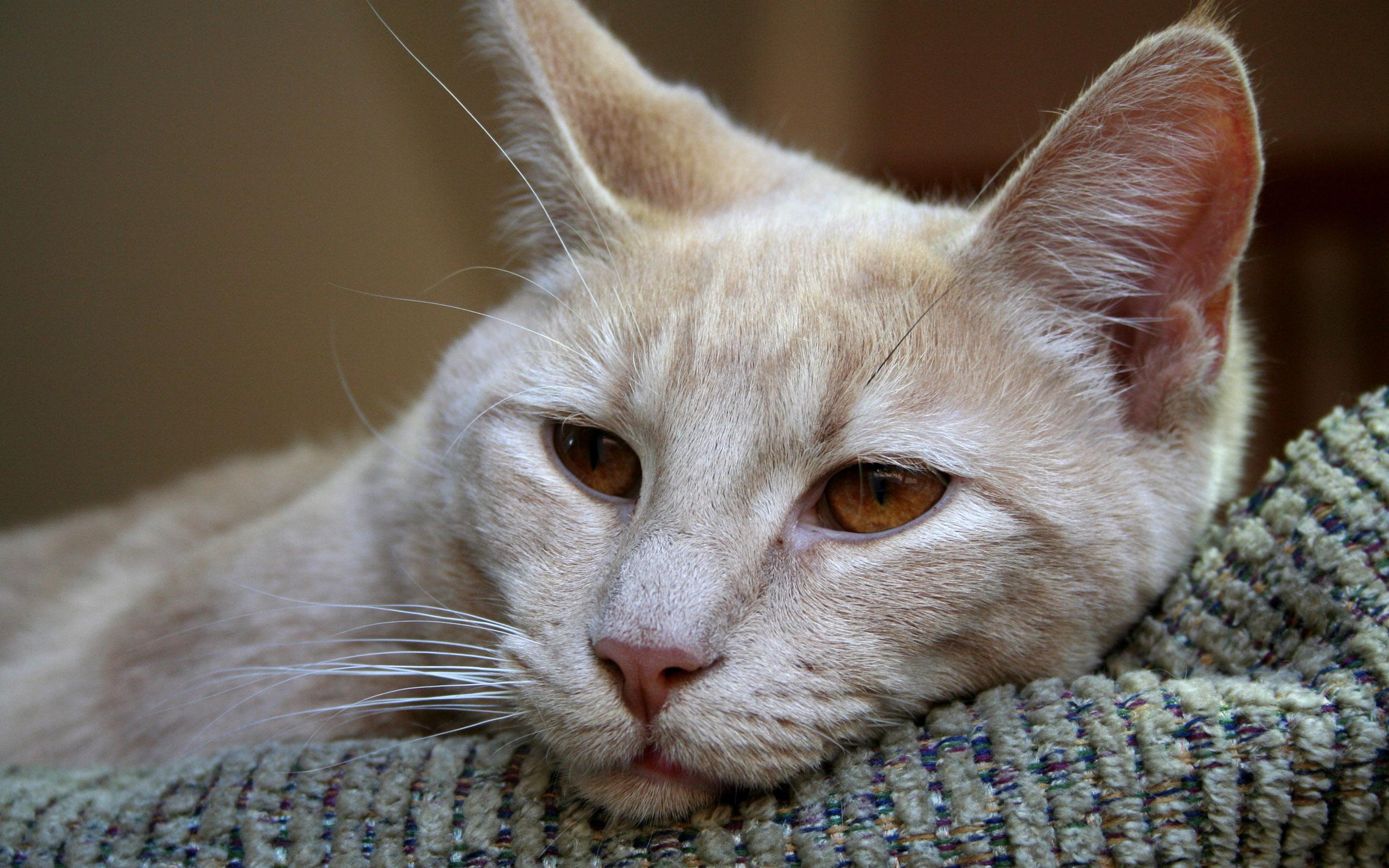 Чумка у кошек 9 фотография